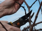 Grape and Muscadine Pruning Workshop Recap